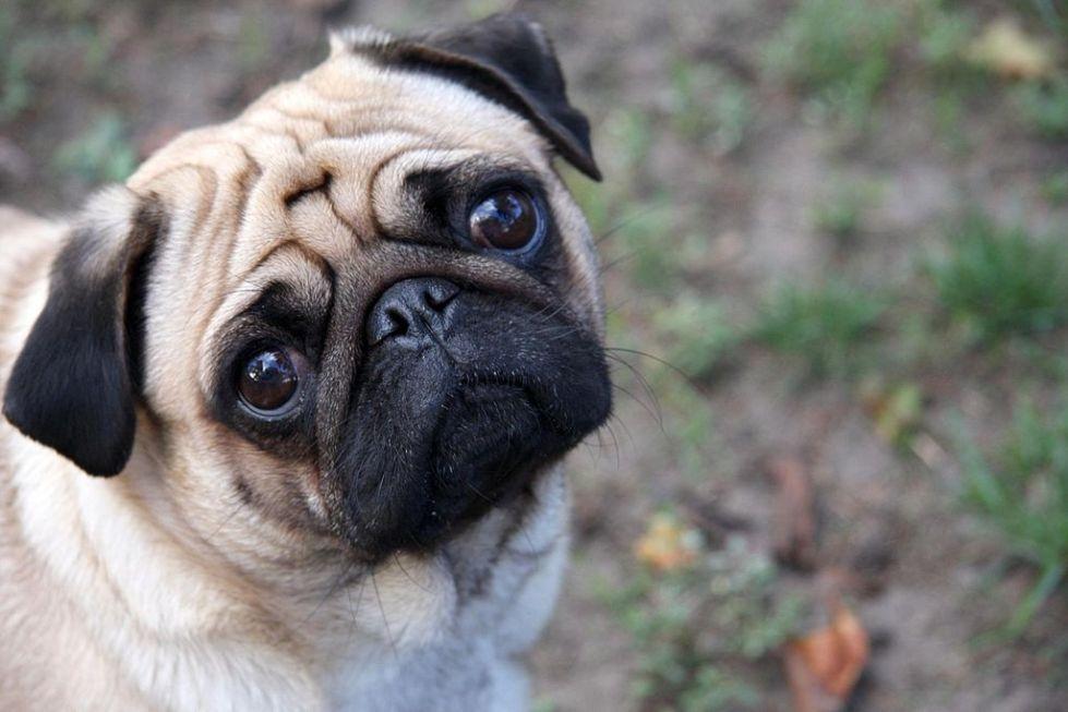 1024px-Sad-pug