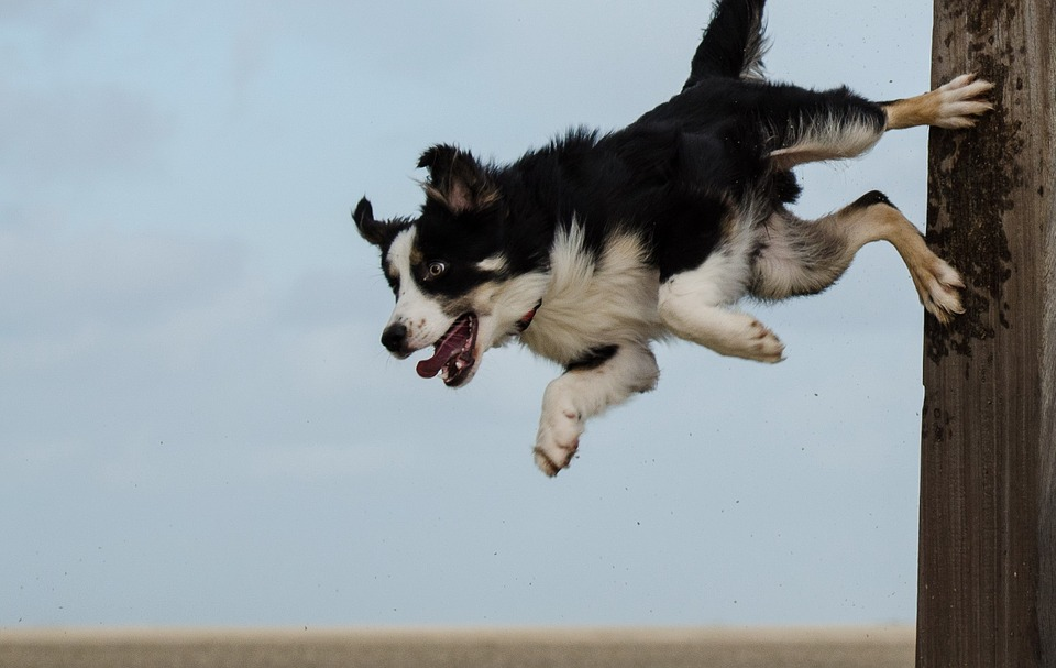 Border Collie jumping1